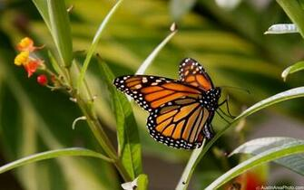 Efforts to conserve Monarch butterflies misguided