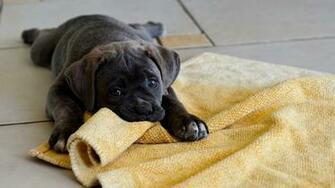 Black Labrador Pup Download 1920x1080