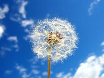 Tag Dandelion Flowers Wallpapers Backgrounds Paos Images and