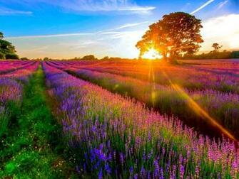Lavender field wallpaper   ForWallpapercom