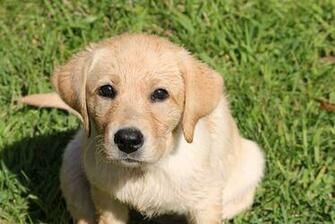 Lab Puppy Images at Clkercom   vector clip art online royalty