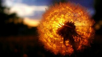 Sunset Behind a Dandelion Wallpaper Desktop Wallpaper with 1920x1080