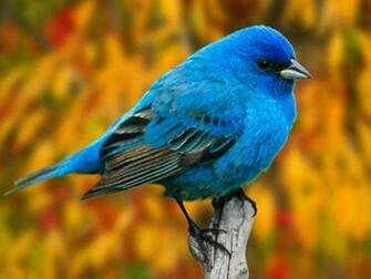 Top Bird Bluish Mobile Hd Wallpaper wallpapers55com   Best