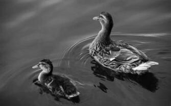 ducks bird theme desktop wallpaper