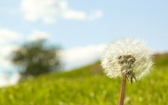 Lonely Dandelion 1920x1200 wallpaper download page 383757