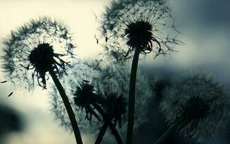 Black and White Dandelion Wallpaper