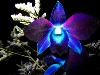 Exotic Blue Orchid Flower HD wallpapers   Exotic Blue Orchid Flower