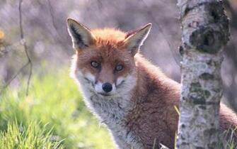 Cute fox wallpaper   1379660