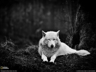 Gray Wolf Washington