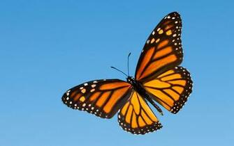 Monarch Butterfly HD Wallpaper Background Images