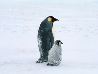 25 Cute Penguins Wallpapers and Backgrounds for
