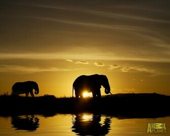 Animal Planet Wallpaper Download   elephant sunset