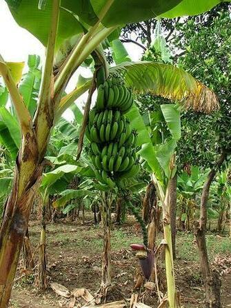 banana tree hd wallpapers banana tree images trees images