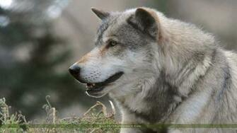 Grey Wolf Wallpapers