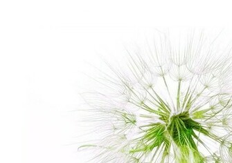 Dandelion Wallpaper Minimalist Dandelion Desktop Background