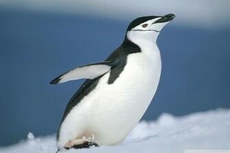 Cute little penguin photography wallpaper Animal desktop background