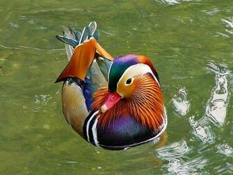 Duck hd wallpapers Animals Birds Most beautiful animals