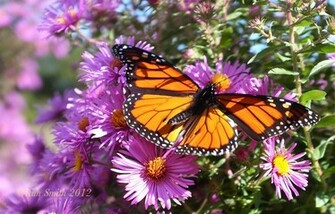 Monarch Butterfly Wallpaper HD Images 0anmpwf3 Yoanu