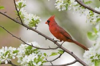 Cardinal Birds Wallpaper Download Desktop Birds Desktop