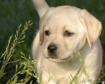 Labrador Puppy Picture Labrador Puppies wallpaper Labrador dogs