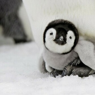 Cute Baby Penguins 10735 Hd Wallpapers in Animals   Imagescicom