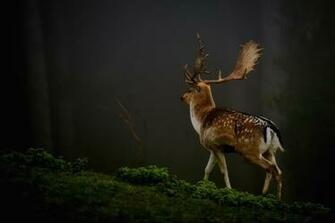 Deer Photos HD Wallpapers HD Nature Wallpapers