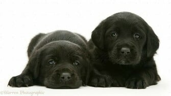Dogs Labrador Puppies