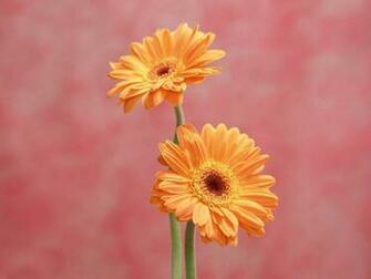 flowers for flower lovers Daisy flowers HD desktop