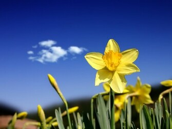 1600x1200 Beautiful daffodils desktop PC and Mac wallpaper