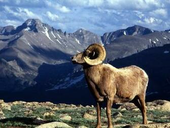 Horn Ram Rocky Mountain National Park Colorado   Wallpaper 10675