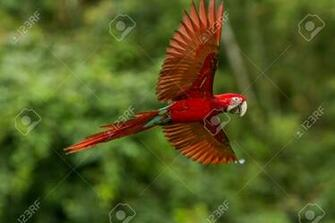 Red Parrot In Flight Macaw Flying Green Vegetation In Background