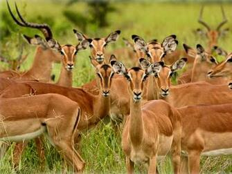 deer like red deer sika deer fallow deer chinese water deer eik deer