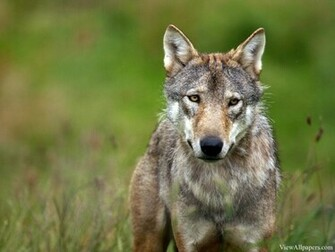 Animal Planet Wolf Wallpaper High Resolution Wallpaper Animal Planet