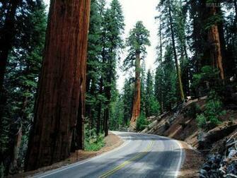 Sequoia National Park Wallpaper Papel de parede Redwood Road