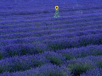 Wallpaper sunflower purple lavender Sunflower in lavender field