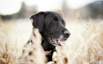 pictures download labrador puppy black hd wallpaper Car Pictures
