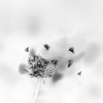 Blowing Dandelions 2448 x 2448 307 kB jpeg