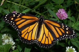 The Monarch Butterfly   Wallpaper Pin it