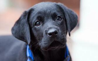 Pics Photos   Black Lab Puppy Images Hd Wallpapers