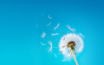 Dandelion wallpaper   973379