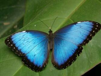 Blue Butterfly wallpapers Blue Butterfly stock photos