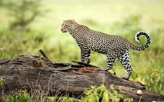 Leopard Wildlife Wallpapers HD Wallpapers