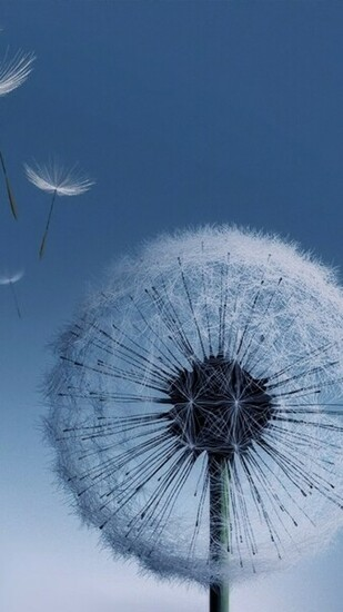 Dandelion Samsung Galaxy S3 Wallpaper Random Things Pinterest