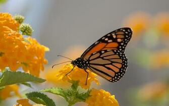 Monarch Butterfly And Yellow Lanthana Desktop Wallpaper