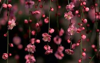 Pink Flower Desktop Wallpapers