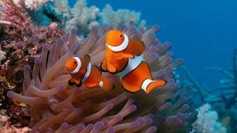 pesci pagliaccio sfondo desktop hd wallpaper two clownfish 1920x1080