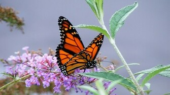 Monarch Butterfly   Wallpaper 40128
