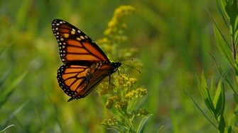 Lady Butterfly and Monarch Butterfly Wallpapers HD Wallpapers
