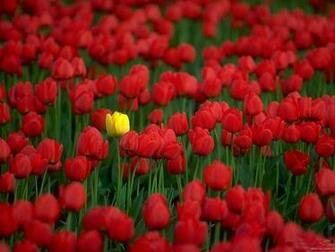Flowers Wallpapers Red Tulips Flowers Wallpapers