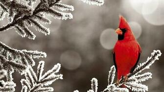 sur branche sapin gele wallpaper birds cardinal red frost northern